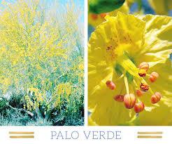 Tree With Bright Yellow Flowers - 127 stunning desert plants ftd com