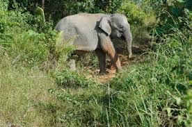 Borneos Pygmy Elephants (2007)