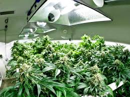 best 25 marijuana grow lights ideas on pinterest flowering