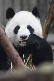Information about Giant Panda Shu Lan | Panda News - ShuLan