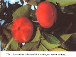 image of velvet apple or mabolo fruit, borrowed from t1.gstatic.com