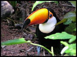 toco toucan images?q=tbn:ANd9GcT