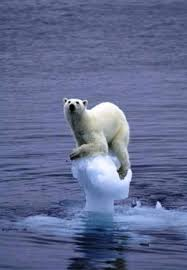 Polar bear stuck on ice cap