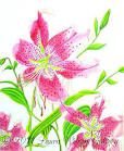 stargazer lilies drawings