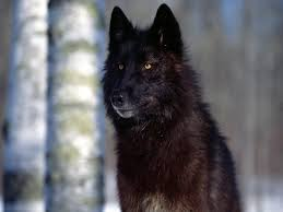 The Wolves of The Backwoods of Yellowstone Park Images?q=tbn:ANd9GcTpGyNfYqxrgW_iQrwJ6GHjgD5pszNocnxSo__dC9ios1hQES7Q8w