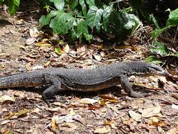 image of a monitor lizard, borrowed from t1.gstatic.com