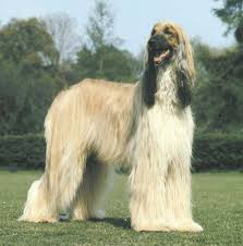 afghan hound long haired dogs afghan hound jpg