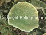 Image result for Turbinaria mesenterina
