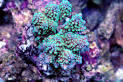 Image result for Acropora convexa