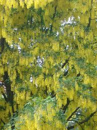 Tree With Bright Yellow Flowers - free stock photo of laburnum tree in flower photoeverywhere