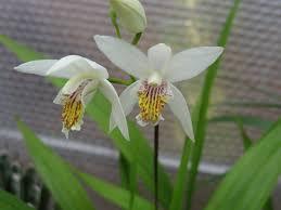 BLETILLA_orhidee de camp Images?q=tbn:ANd9GcTtM61fy-eXolbZAI3VNekEI8zd-EbRA717ZaRLT3dficZyGN_D