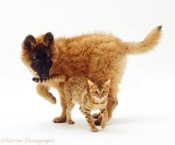 belgian shepherd uk breeders pets belgian shepherd puppy and bengal kitten photo wp22958