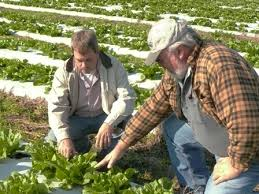 Photo of farmer Bill Hering and agronomist Tim Hall. Farmer Bill Hering, left, and regional agronomist Tim Hall discuss the appropriate leaf of lettuce to ... - HeringHall_web