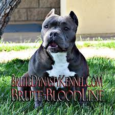 american pitbull terrier for sale in dallas texas xl tri color bully pitbulls u0026 puppies pocket tri color bully