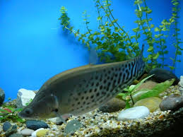 Royal knifefish