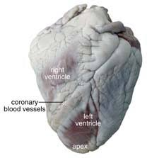 Sheep Brain Anatomy Game Sheep Heart Dissection Guide With Pictures