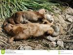 Image result for Lontra canadensis
