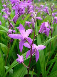 BLETILLA_orhidee de camp Images?q=tbn:ANd9GcTurotJy3VApqjUwqwzOXwCKhpXEqI0VyEEldQLwMJ8bZk9yQer