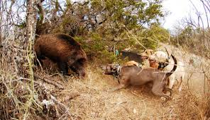 Image result for hog hunting with dogs