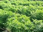 เกษตรท้องถิ่น อำเภอนาคู: วิธี
