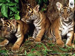 The Sumatran tigers are the