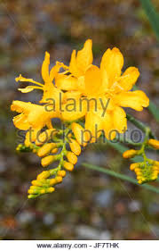 Tree With Bright Yellow Flowers - bright yellow tubular flowers in the spike of the summer flowering