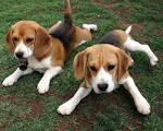 Beagle dogs - Dogs Photo (21180083) - Fanpop fanclubs