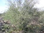 Image result for Prosopis pubescens