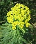 <b>Euphorbia</b> cyparissias