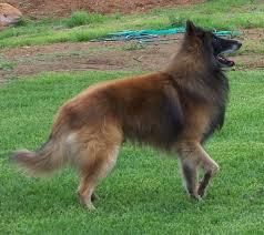 belgian shepherd nc belgian sheepherd dog belgian shepherd dog images graphics