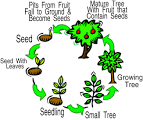 growth cycle of a tree