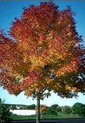 Autumn purple ash tree colorado