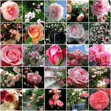 قسم صور الورد