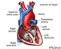 The normal heart viewed so