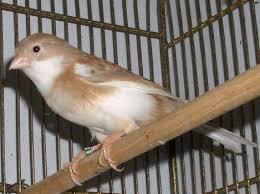 شاركنا صور طيورك الكناري
