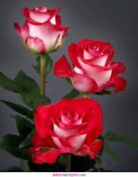 36. Gönülçelen -Inima furata - Heart Stealer - General Discussions - Comentarii - Pagina 2 Trandafiri