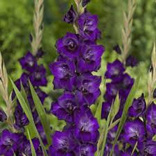 Gladiolus 'Purple Flora' /