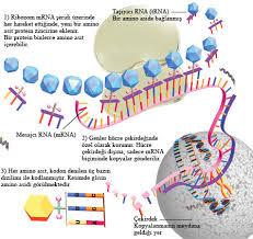 proteinler ve özellikleri