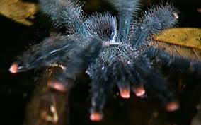pink-toed tarantulas hunt