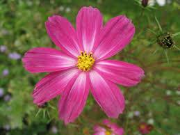 flowers language aster-pink-flower-amellus4651.jpg