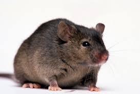 أسد وثعبان وفأر وعسل Mouse