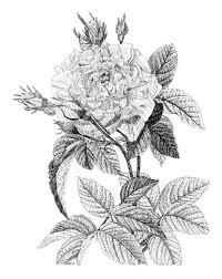 گل سیاه و سفید خار دار