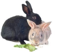 الأرانب ................... Rabbits