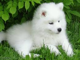CATS or DOGS? (Read before Vote) Samoyed_Cortina_by_asiaaisha