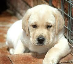 Do you have a dog? Labrador-puppy