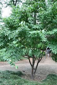 Stewartia sinensis /