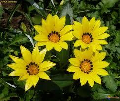 http://t1.gstatic.com/images?q=tbn:Yo-VXb6L_-y3tM:http://www.visoflora.com/images/original/gazania-gaertn-visoflora-9693.jpg
