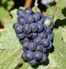 Vitis vinifera 'Muscat of Alexandria' /