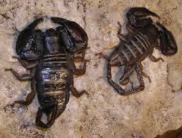different types of scorpions