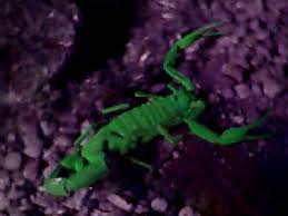 species of scorpions pictures